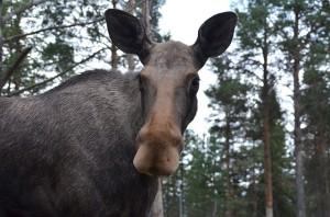 moose-568475_640